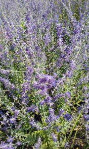 Lavender Simple Syrup on karenehman.com for #LoveYourLifeFriday by Sarah Lundgren